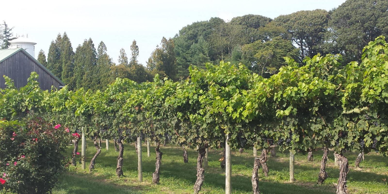 vineyard at cape may winery